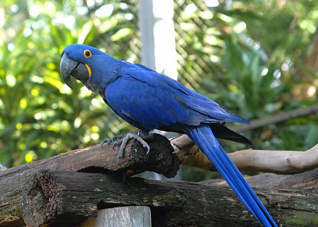 Arara-Azul - Uma das raras aparições do azul em seres vivos