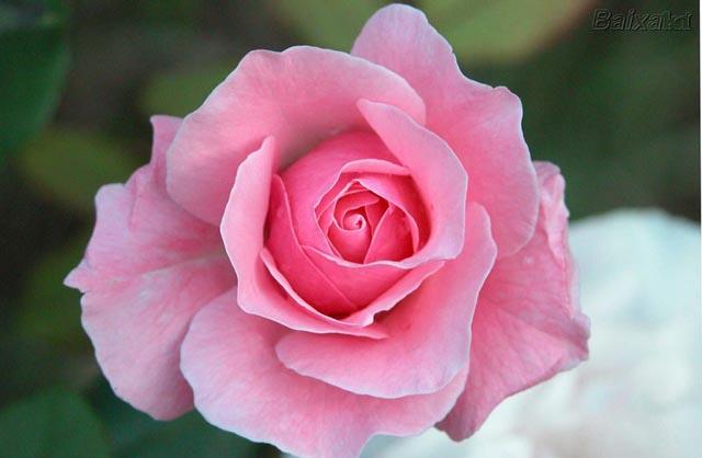 A flor que deu nome a cor