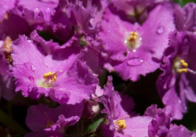 Nada melhor do que uma Violeta para exemplificar a cor violeta
